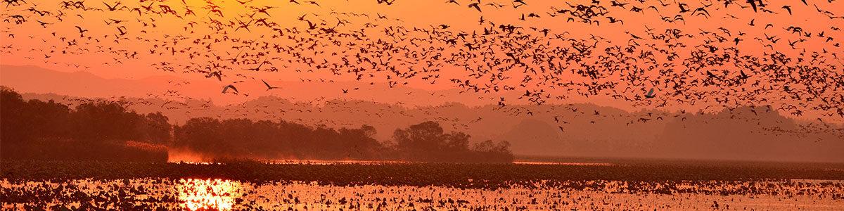 伊豆沼で確認された野鳥は約200種  国内のマガンの9割は宮城県北部に飛来します。