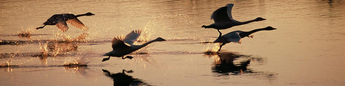 伊豆沼の水面から飛び立つ白鳥。伊豆沼にはコハクチョウとオオハクチョウが飛来します。
