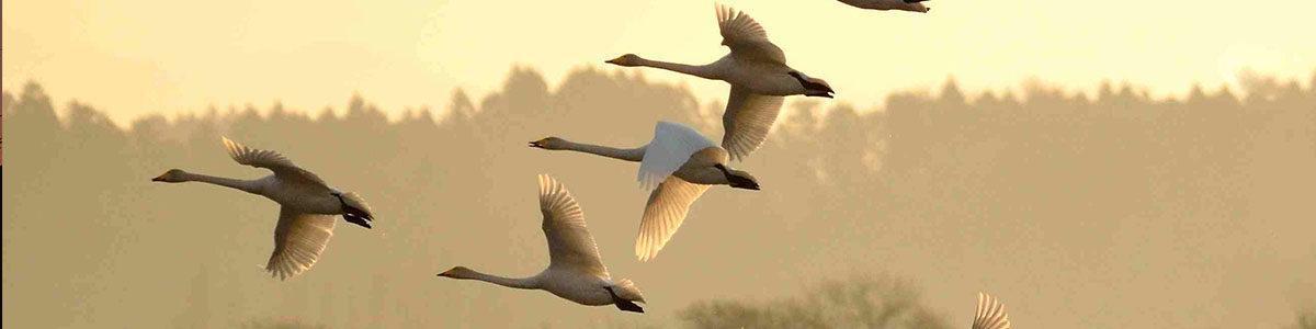 伊豆沼 飛翔する白鳥たち。伊豆沼には毎年1月に約4千羽の白鳥が飛来します。