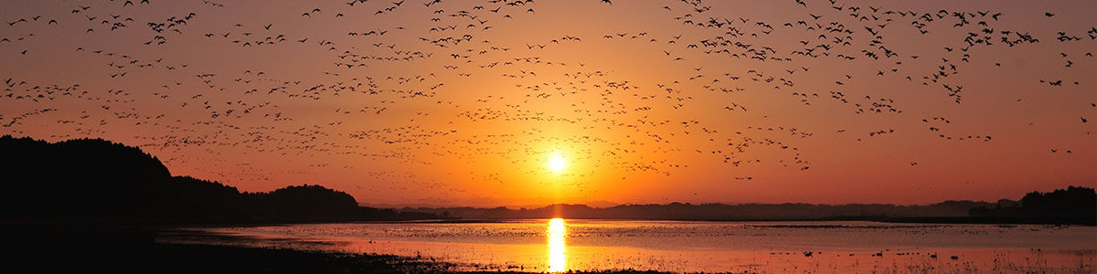 栗原市伊豆沼 冬の到来を告げる野鳥たちが、夕暮れに水面で羽をやすめる。