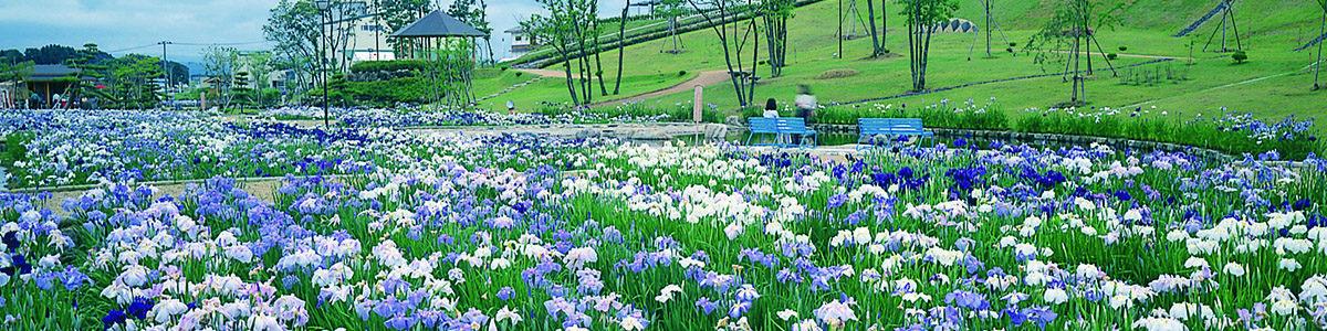 6月中旬~7月上旬にかけて、300品種・80万本のハナショウブが咲き、みなみかた花菖蒲まつりが開催される。